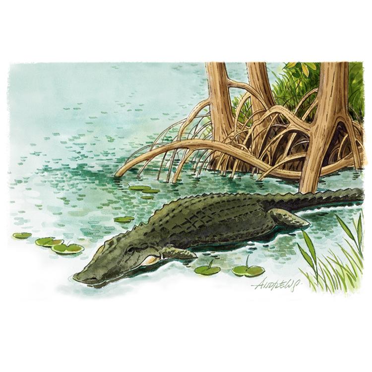 Everglades_Alligator